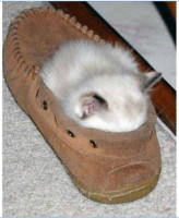 sleeping-cat-in-shoe.jpg