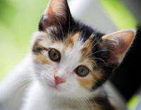 young-calico-cat.jpg