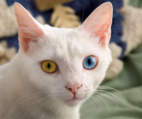 June_odd-eyed-cat_cropped.jpg