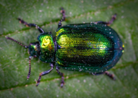 macro-photography-of-jewel-beetle-on-green-leaf.jpg