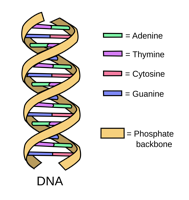 dna-structure.png